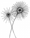 kisspng-drawing-black-and-white-sketch-dandelion-5a9d55c423a456.815568601520260548146